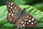 092-speckled-wood-130806_thumb