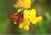 116-large-skipper-220706_thumb