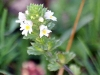 Common Eyebright (Euphrasia officinalis)