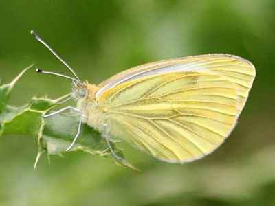 Green Veined White (Pieris napi)