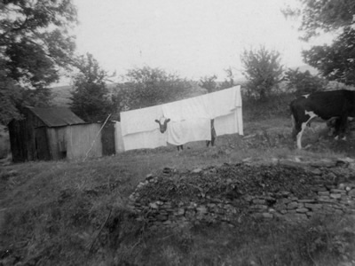 Cow hiding from flies at Blaenant in the 1960s by Granville Morgan