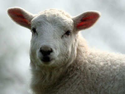 Welsh Mountain Lamb Ovis aries