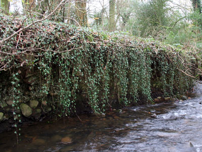 An Ivy Curtain on the River Clydach Hedera Helix