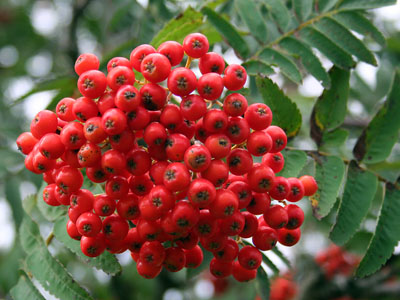 Mountain Ash (or Rowan) Sorbus aucuparia