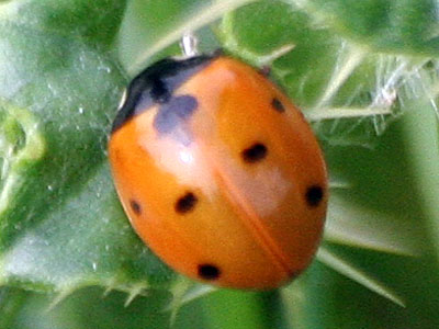 Seven Spotted Ladybird Coccinella 7-punctata