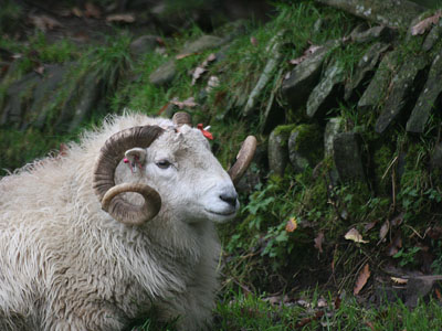 Welsh Mountain Ram Rests by Stone Wall