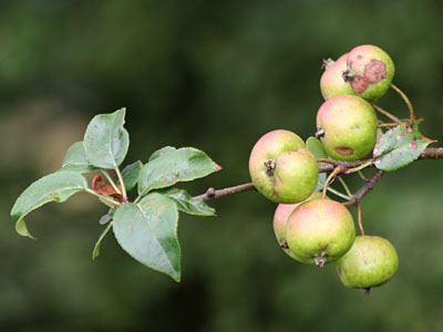 Crab Apples Malus sylvestris