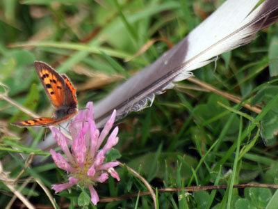 Small Copper (Lycaena phlaeas) on Red Clover