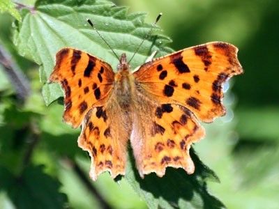 Comma Oryctolagus coniculus