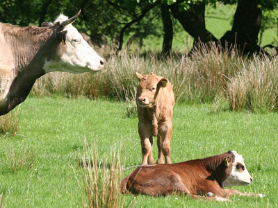 Beef Cattle at Plas Farm