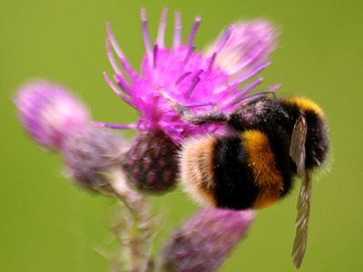 Buff-tailed Bumble Bee Bombus terrestris