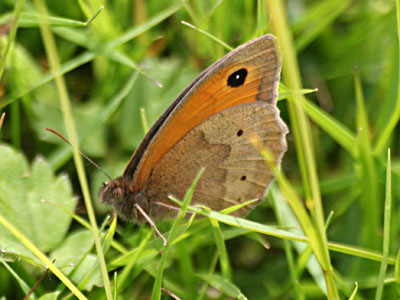 Meadow Brown Butterfly Maniola jurtina
