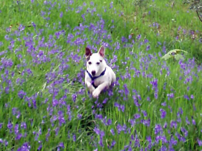 Leaping through the bluebells
