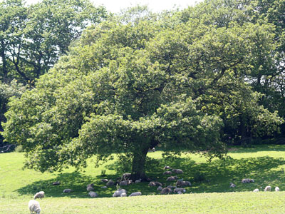 The Welsh Oak (aka Sessile Oak) Quercus petraea