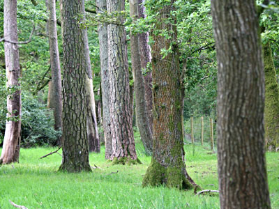 A stand of Scots Pine and Welsh Oak Pinus sylvestris and Quercus petraea
