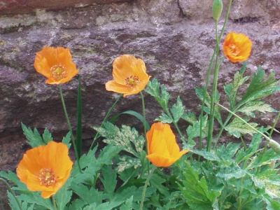 The Welsh Poppy Meconopsis cambrica